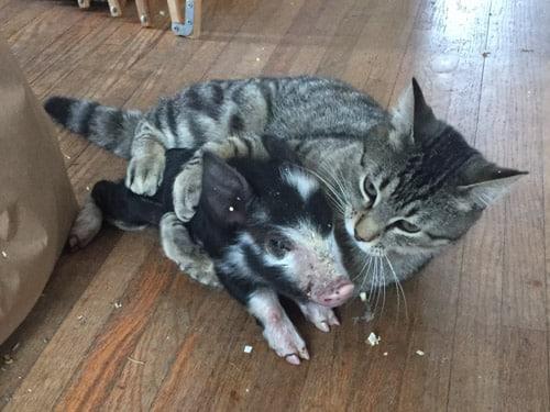 Have you ever wrestled a piglet?