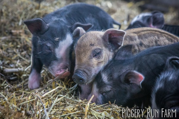 Is it time for new fall piglets yet?